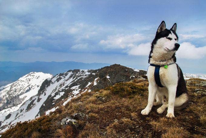 anh Siberian Husky