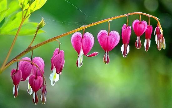 hoa dep hinh trai tim