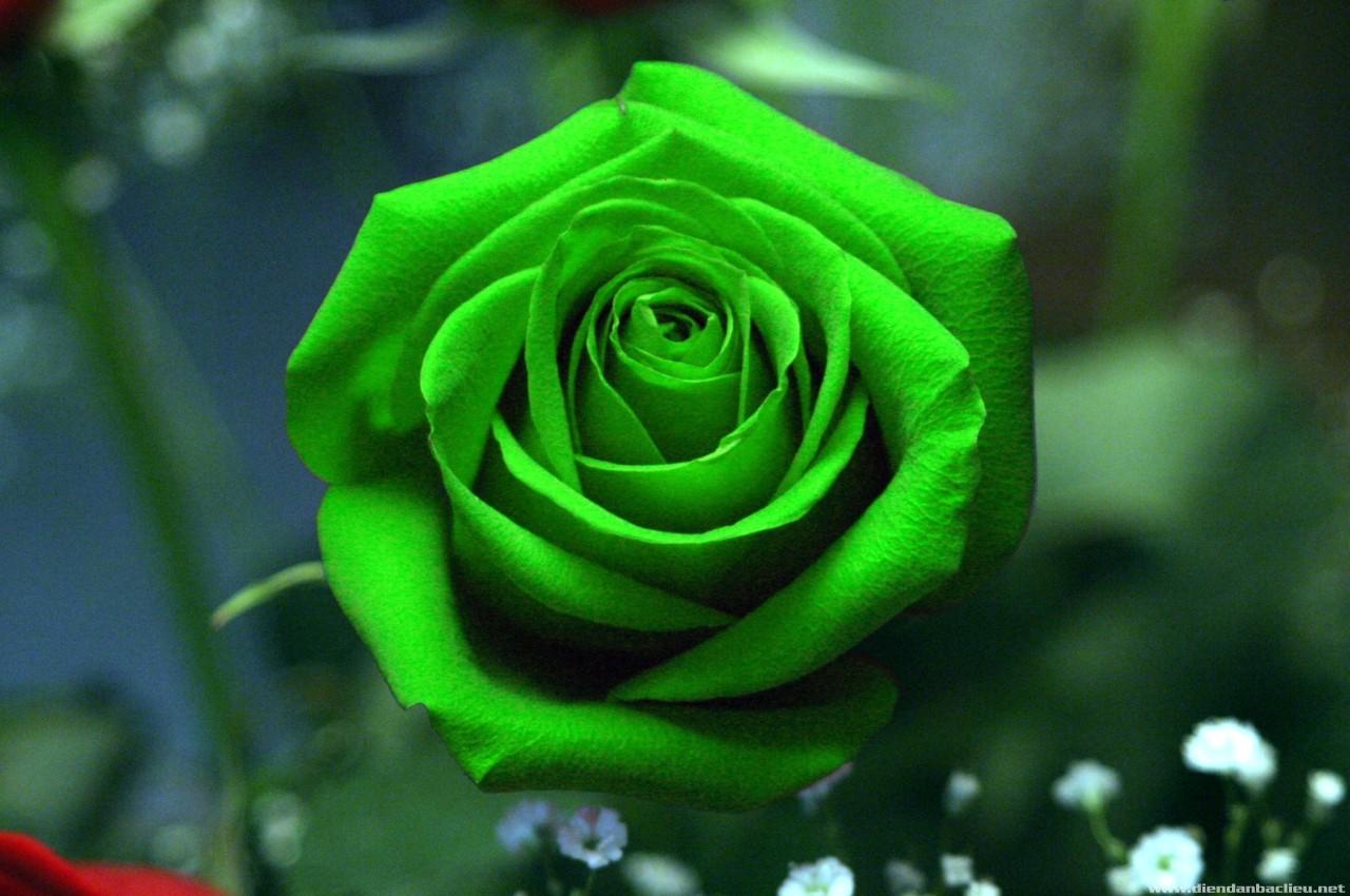 nhung bong hoa hong xanh dep nhat