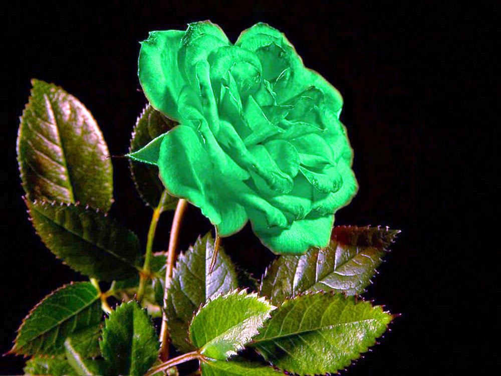 nhung bong hoa hong xanh