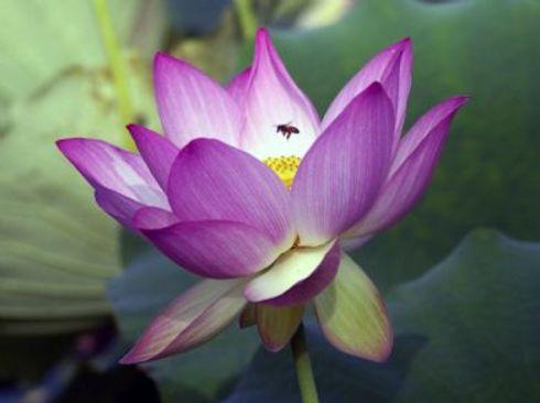 hinh dep hoa sen