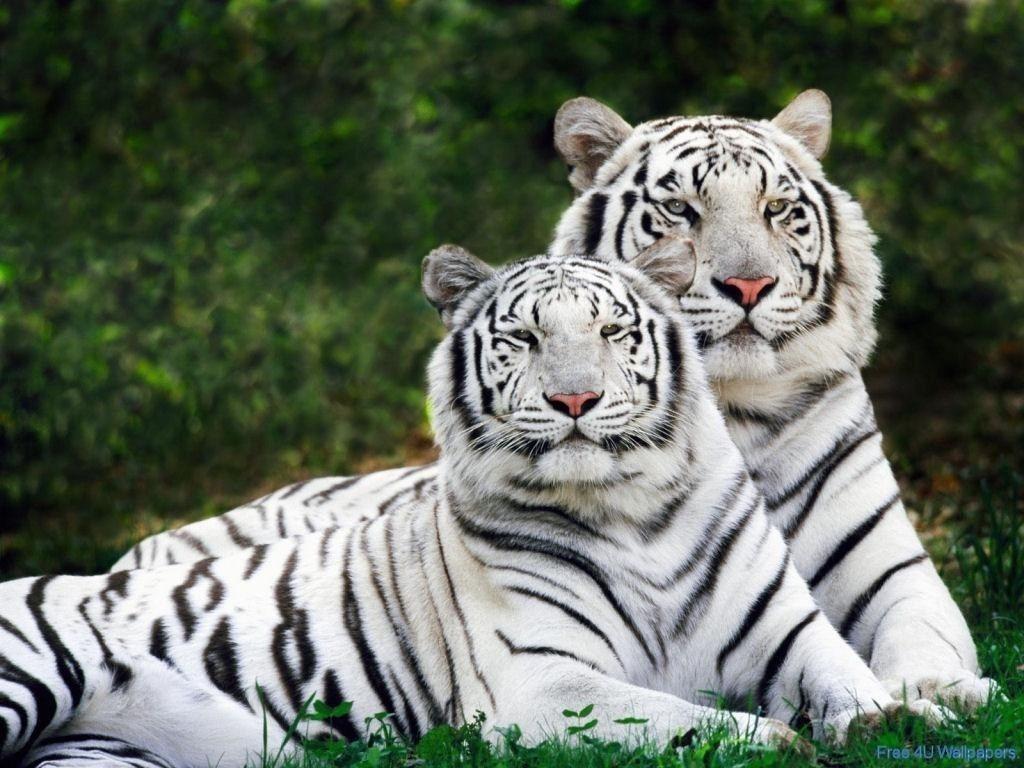 Hai con hổ lông trắng