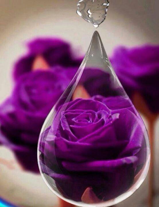 hoa hong mau tim