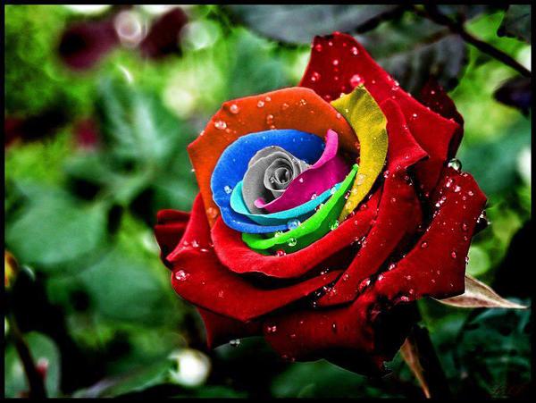 Tải ảnh hoa hồng 7 sắc đẹp nhất
