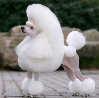 cho Poodle long dep