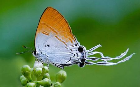Ảnh bướm đẹp đậu trên nụ mai