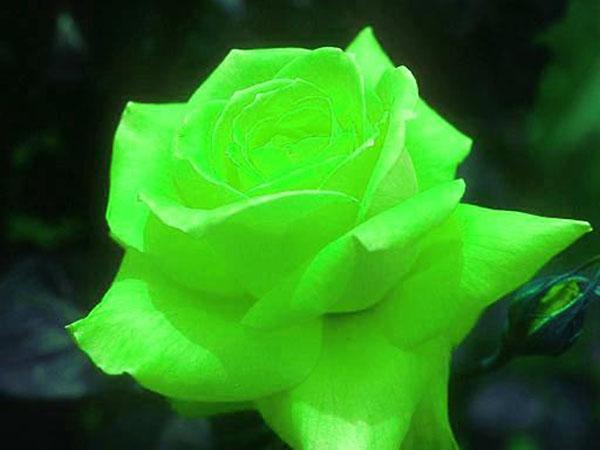hinh anh hoa hong xanh dep nhat the gioi
