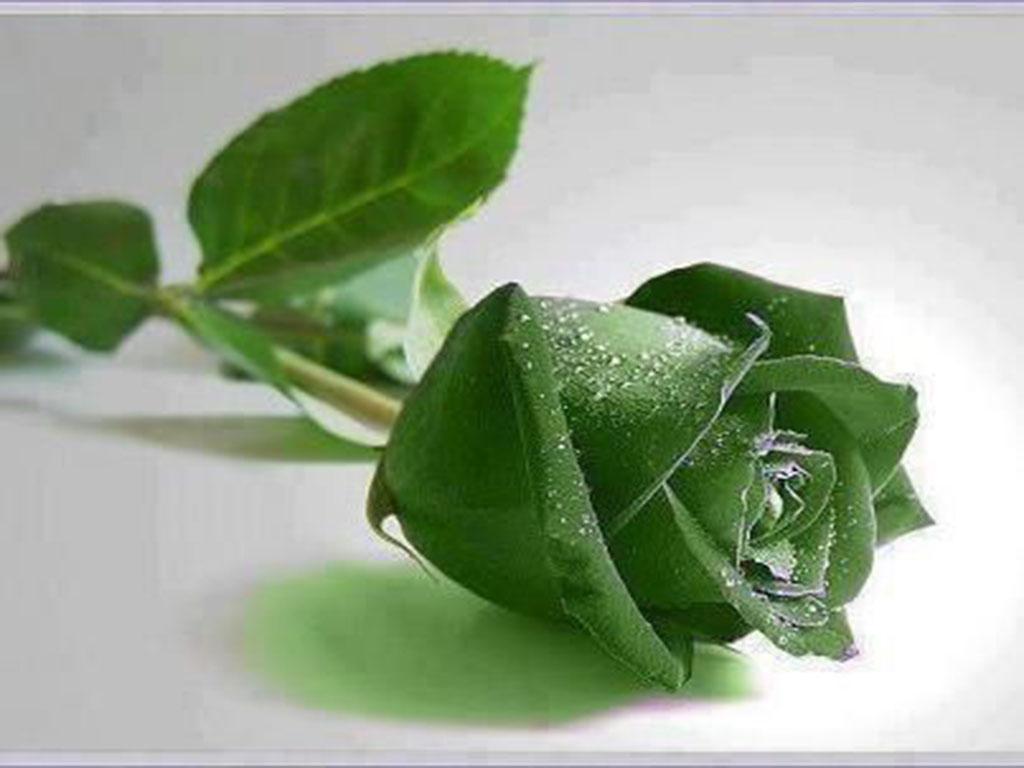 hoa hong xanh dep me ly
