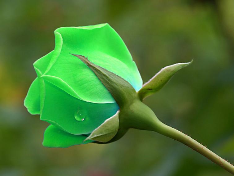 hoa hong xanh rat dep
