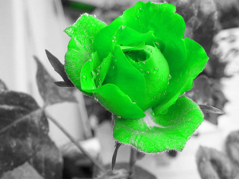 hoa hong xanh tuyet dep