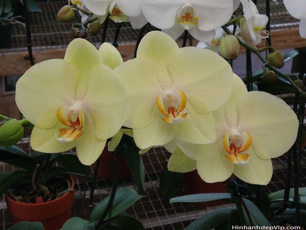 hoa phong lan ho diep