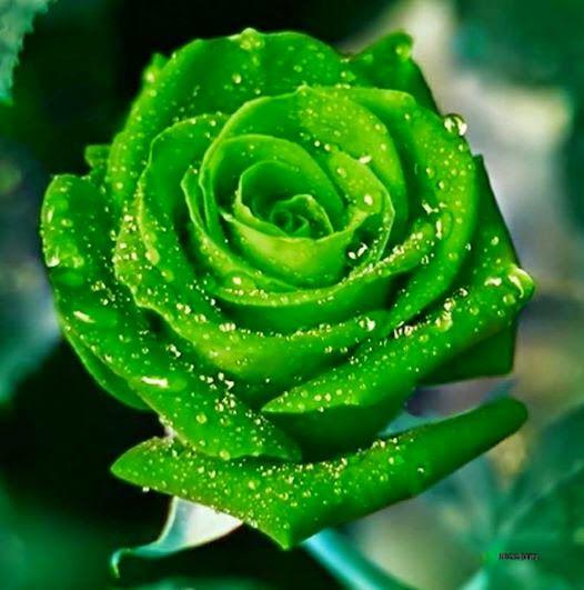 nhung hinh anh hoa hong xanh tuyet dep
