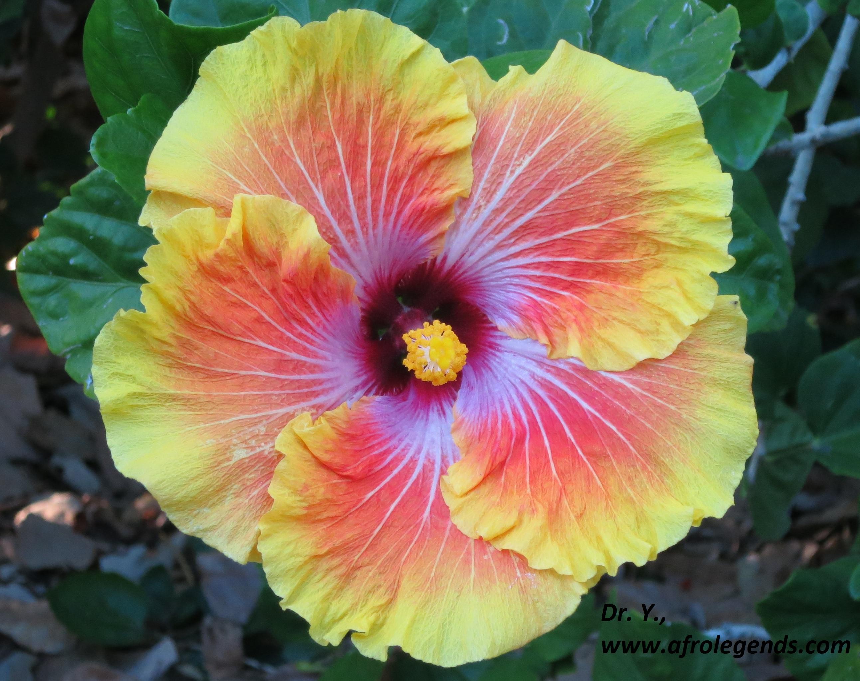 Hình ảnh hoa dâm bụt màu vàng